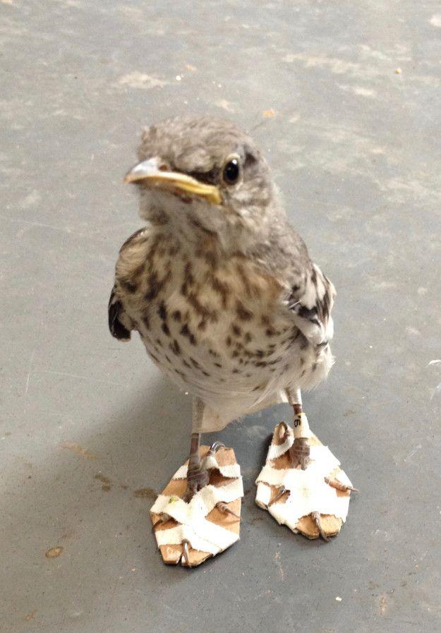 CWCの獣医チームは、段ボールの小さな紙片を使い、この小鳥のために極小の特製かんじきを作ってあげた。