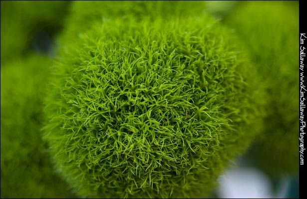159 best Dianthus (Green Trick) Wedding Flowers images on ...