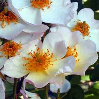 Very large trusses of well-spaced, medium sized, single flowers, up to 60 blooms in each. White with splashes of pink on the edges and a huge boss of golden stamens. Its lovely perfume fills the spring air. Lush copper tinted, glossy foliage. Small red hips in autumn. Can be grown as a huge self supporting shrub. 5m x 3m.