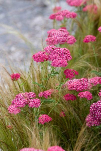 Common Yarrow 'Cerise Queen' Achillea millefolium In pots along north side of building partial shade