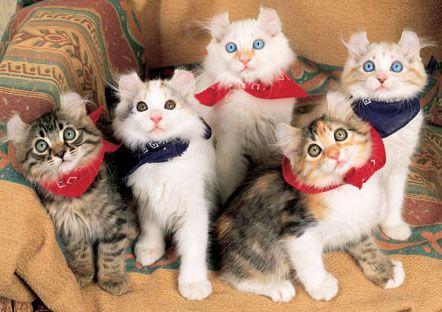 American Curl Cat...look at their ears!