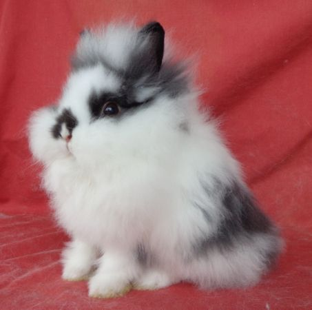 Lionhead bunny. I just want to hold one. That's all I want. Just for a little while. Or maybe longer.