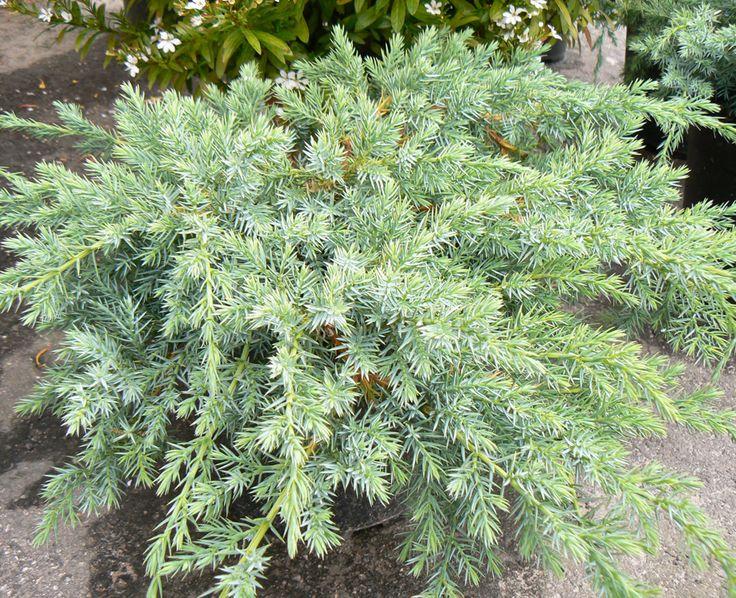 Muhevaiselta Sinikataja Juniperus squamata Blue Carpet 0,5 m aurinko/pv