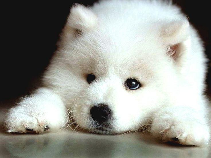 samoyed puppy dog...sooo cute <3