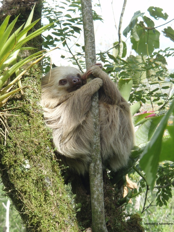 A Serendipity Adventures guide took this picture when he was traveling around Costa Rica. This sloth is a mammal that belongs to the Megalonychidae families (two-toed sloth). Mostly sloths eat leaves, which provide very little energy. They deal with this by having very low metabolic rates, they maintain low body temperatures when active and even lower when resting. Even though they are very slow, we think sloths are very cute. :)