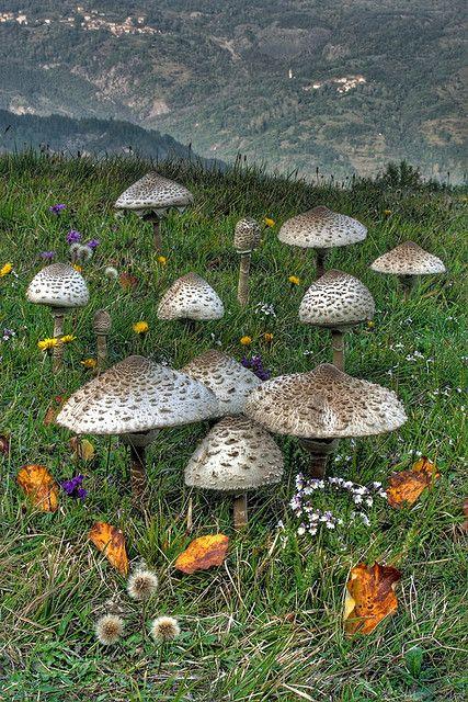 The Parasol Mushroom (Macrolepiota procera) by tormento&estasi