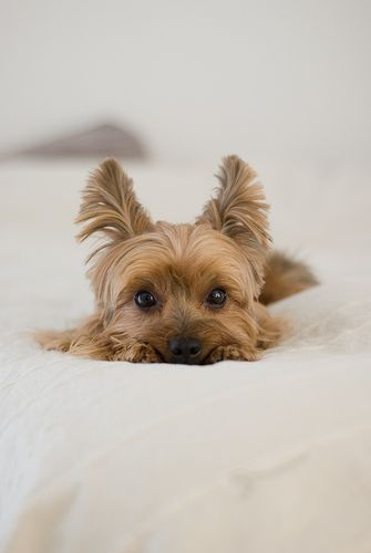 Yorkie puppy staring at you!