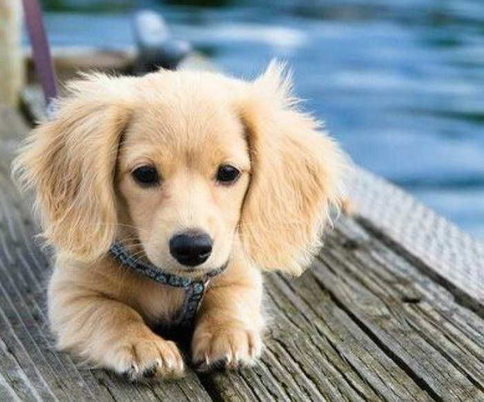 Golden Retriever Weiner Dog Mix For Sale Dachshund Breed