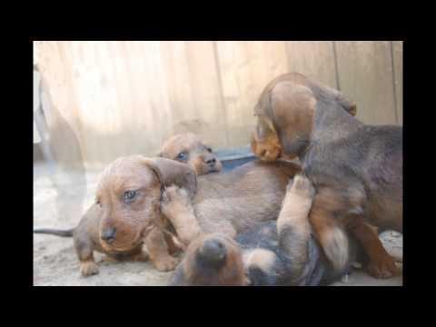 Cuccioli di bassotto  http://yt.cl.nr/srC0b4vxKvc