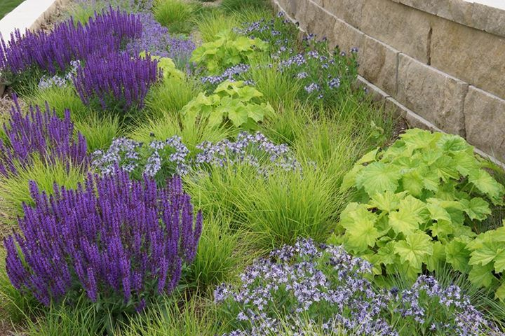 Amsonia blue ice salvia wesuwe sesleria autumnalis for Piet oudolf planting schemes