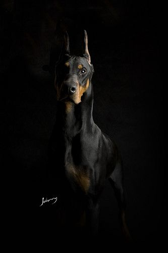 Doberman Pinscher - named Cavera - Black background