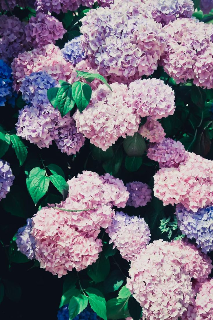 Hydrangeas ♥ oh, I just love these!! Maybe I should plant these in my flower garden next year