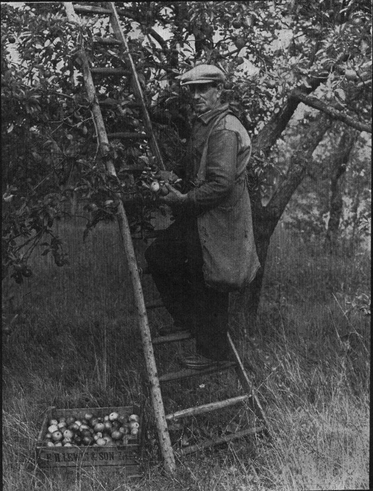 Bata Farm Orchard East Tilbury, Tom Potter picking Fruit, Apple variety Worcester Pearmain - Sept 20th 1951