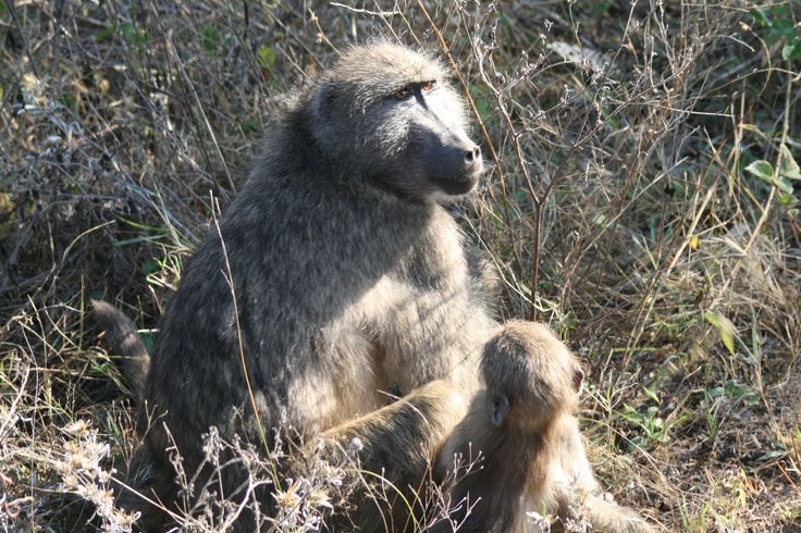 Grooming baby baboon. #EpicEnabled