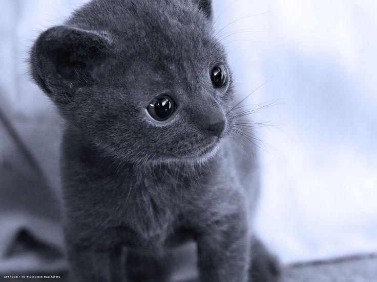 Thai Korat Kitten A Silver Gray Quot Good Luck Quot Cat