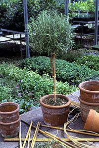 DIY Rosemary Topiary - rosemary can become straggly and overgrown if not given regular haircuts. Keeping it neatly pruned as a topiary is a creative way to use an edible herb as a feature plant. Position near the kitchen or BBQ for easy access. Follow these easy instructions to shape your plant. | The Micro Gardener