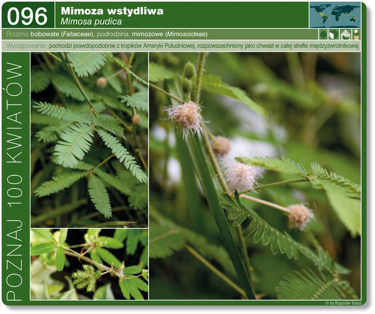 Mimoza Wstydliwa Plants Flowers Dandelion