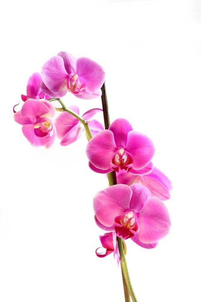 Roze Orchideeën Staand