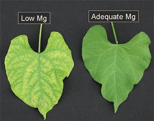 Magnesium deficiency symptoms.  Great article about all plant nutritional deficiencies.