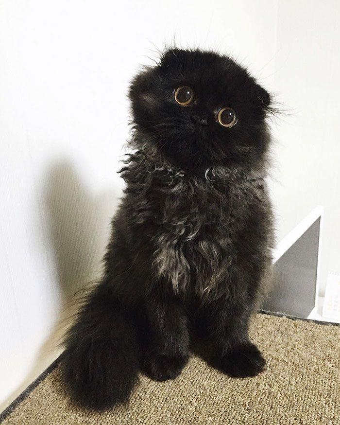 Conheça O Gimo, O Gato Com Os Maiores Olhos Que Você Já Viu