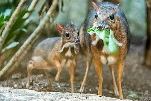 A Mouse Deer has given birth to an itty-bitty baby at the Zurich Zoo.  Less than 22 inches (55 centimeters) long as adults, Mouse Deer are one of the smallest hoofed animal species.  They are not really deer at all, but belong to their own unique family of hoofed mammals.