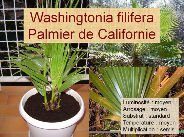 Washingtonia filifera Palmier de Californie