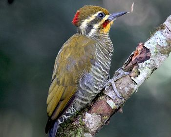 Yellow-browed Woodpecker: Argentina, Brazil, Paraguay. Page 37 Bird Names in Kannada