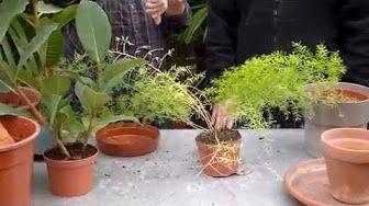 Jardinage: Entretien du chlorophytum: Plante verte - YouTube