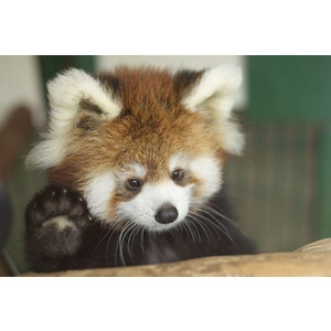 Cats and other animals - PolyvoreBaby Red Pandas, Little Red,  Ailurus Fulgens,  Bears Cat, Baby Animal, Bye Bye,  Cat Bears, Lesser Pandas, Cutest Animal