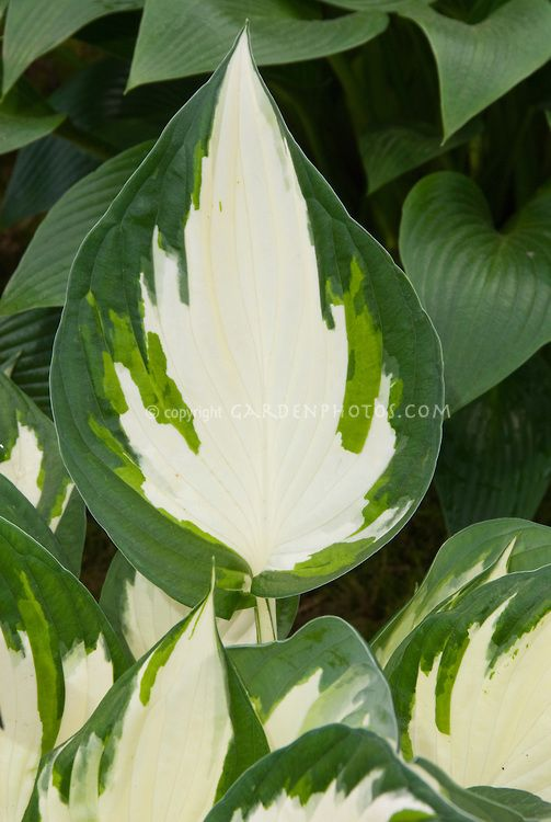 Hosta 'Hotspur' variegated with white center foliage perennial plant, closeup macro of leaves...