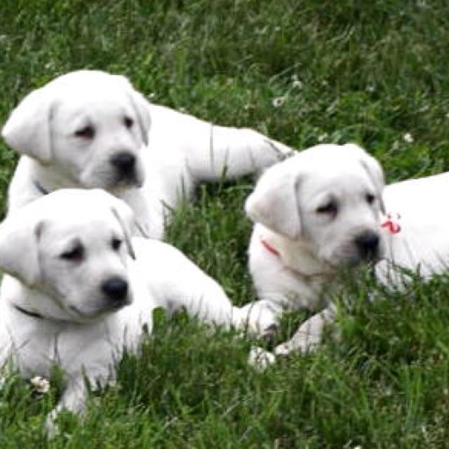 Love white labs!!!