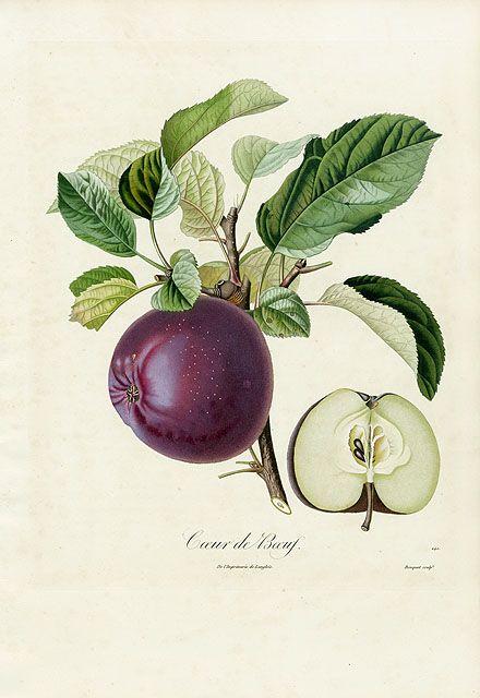 Poiteau Fruit Prints -  Pomologie Francaise 1846 (Study for French apples) Pomme Calville, Coeur de Boeuf