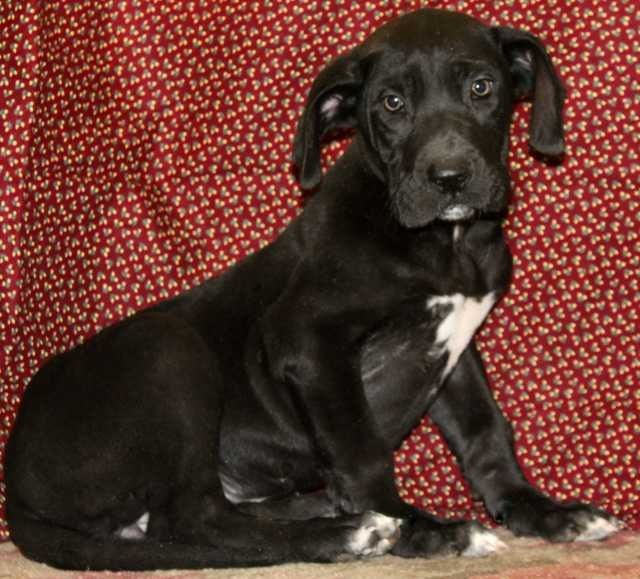 black great dane puppies for sale | Zoe Fans Blog (With ...