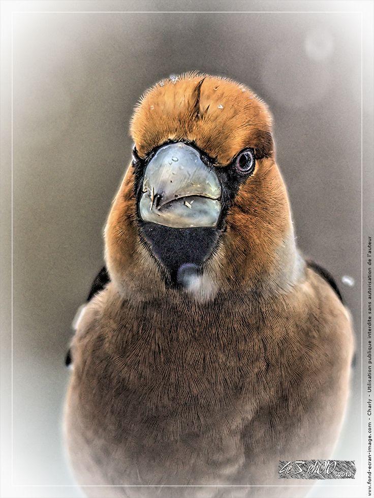 Oiseau gros bec casse noyaux gros bec hdr