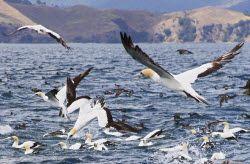 Spring Snapper in the Hauraki Gulf. http://www.fishing.net.nz/how-to/spring-snapper-in-the-hauraki-gulf/