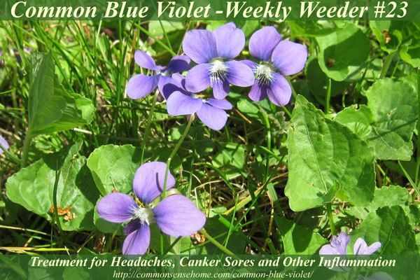 Common Blue Violet – Weekly Weeder #23 #, #common #blue #violet, #viola #sororia #sororia, #wildcrafting, #wildcrafting http://ireland.nef2.com/common-blue-violet-weekly-weeder-23-common-blue-violet-viola-sororia-sororia-wildcrafting-wildcrafting/  # Common Blue Violet Weekly Weeder #23 Today's featured plant is Common Blue Violet, Viola sororia sororia . Common Blue Violet is also known as Purple Violet, Wood Violet, Sweet Violet, English Violet, Common Violet, Pansy, Heart's Ease, Jump-Up…