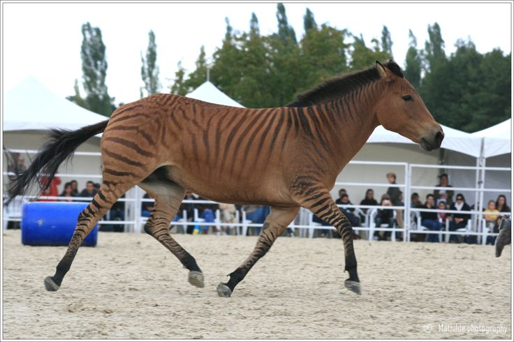 zorse of course | Zebras, Mixes, and Alike | Pinterest ...