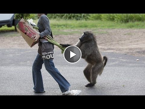 Animals can be so annoying – Funny animal compilation     Animals can be very annoying sometimes. But some of them look cute anyways don't they ;). This funny animal video is a compilation of multiple short and funny videos related to animals. I bet, you won't be able to stop yourself from laughing from the first video only.