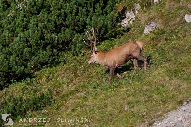 Deer, The Tatras, Poland.  #wildlifephotography