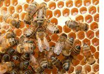 Bees are cool - Pure natural raw honey from Georgia, Sourwood honey, Tupelo honey, Orange Blossom honey