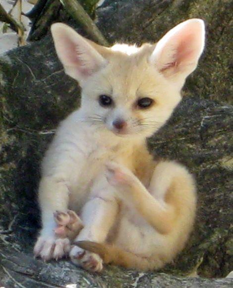 Fennec fox. Too. cute. Agh