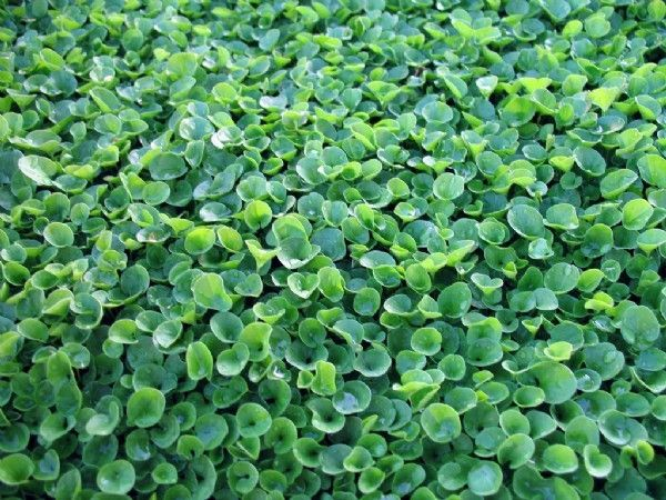 Wonderlawn is a groundcover with dark green, small clover like leaves. It is an attractive substitute for lawns on sloping areas and between stepping stones and paving where mowing is not possible. It is very low maintenance. Hard wearing and quick spreading it forms a dense carpet and grows well in sun and shade.