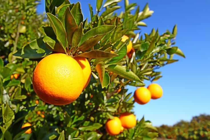 Beautiful Orange groves https://plus.google.com/+Orlandoescape-orlando-hotels/posts/QUFE8fBs2KB