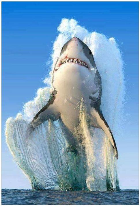 Tubarão Branco; With Shark