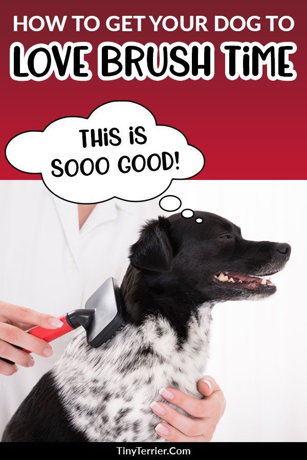 How To Groom A Dog That Hates Being Groomed Tiny Terrier Dog Grooming Dog Training Your Dog