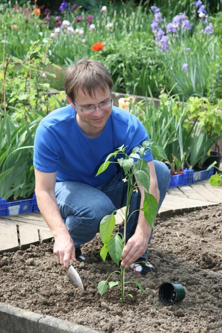Die besten 25+ Paprika pflanzen Ideen auf Pinterest - pflanzen topfen kubeln terrasse