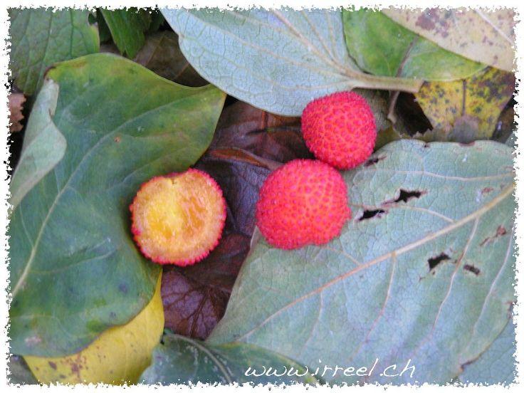 Belles arbouses.  Petits fruits très décoratifs, bonbons tendre à déguster, petit délice de fin d'automne, un peu granuleux, chair délicate et sucrée.  Fruits de novembre: 9 novembre 2007 17h02 . Jardin de l'auteur. Fruits de l'arbousier, fraises de Corse, Arbutus unedo.