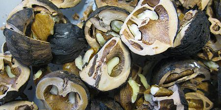 Harvesting, Shelling, and cooking black walnuts