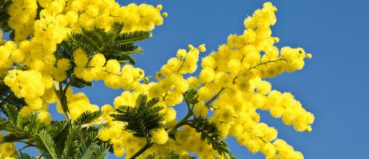 Mimose Die Sinnpflanze für besondere Empfindlichkeit Die Duftnote von Mimosen gehört zu den weniger eingesetzten Düften der klassischen Parfüms. In jüngster Zeit findet sich der Duft häufiger als Unterton... #mimose #duftnoten #parfum #parfumgefluester #parfumgefluster #duft #luxus #sinnpflanze #unterton #empfindlich #gelb #blueten #strauch #suedamerika #zart #holzig #fruchtig #gruen #zuckrig #pudrig