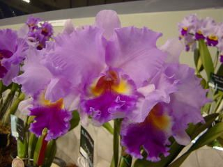 japan grand prix orchid show / cattleya | ... Japan Grand Prix International Orchid Festival 2003 Cattleya Hybrids